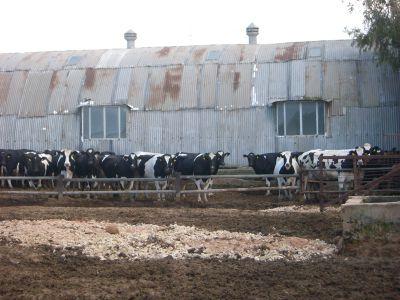 cows herds malta maltese Victoria Lines Malta